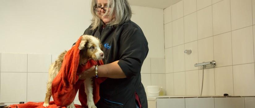 Pflege Australian Shepherd