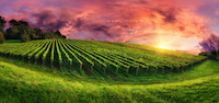 Panorama landscape with a vineyard on a hill and the magnificent red sunset sky